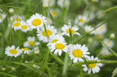 Camomiles. Beautiful flowers of camomile on a glade Royalty Free Stock Photo