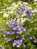Camomiles and bellflowers Royalty Free Stock Photos