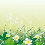 Camomiles bianchi in erba Fotografia Stock Libera da Diritti