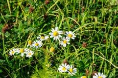 Camomiles bianchi nella fine dell'erba verde su Fotografie Stock Libere da Diritti