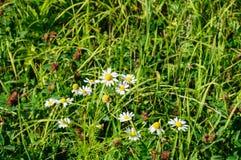 Camomiles bianchi nella fine dell'erba verde su Fotografia Stock Libera da Diritti