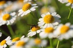 Camomiles blanco y la abeja Fotos de archivo