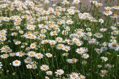 Camomiles blancos e hierba verde como fondo Imágenes de archivo libres de regalías