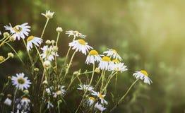 Camomiles blancos en campo Day_ soleado del verano foto de archivo