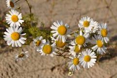 Camomiles blancos en la arena amarilla imagenes de archivo