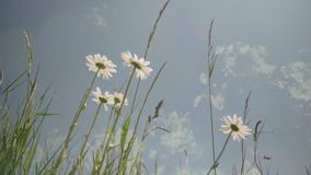 Camomiles blancs, wildflowers, wildflower dans le pré banque de vidéos