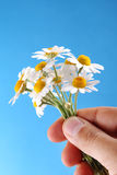 Camomiles on blue sky background Stock Image