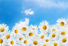 Camomiles on a blue sky background. Royalty Free Stock Photos