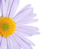 Camomiles Blume auf Weiß Stockfoto