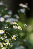 Camomiles-Blumen Stockfotos