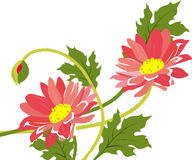 Camomiles. Bouquet. Royalty Free Stock Photo