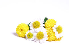Camomiles and chrysanthemums. Royalty Free Stock Image