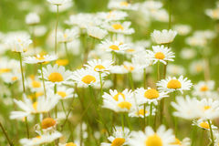 Camomiles Closeup Background. Camomiles Garden Macro Shot Background Stock Photography