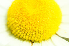 Camomiles Closeup Background. Camomiles Garden Macro Shot Background Royalty Free Stock Images