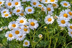 Camomiles Royalty Free Stock Photo