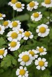Camomiles daisywheels Royalty Free Stock Image