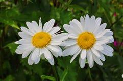 Camomiles dans un jardin a fleuri photos libres de droits