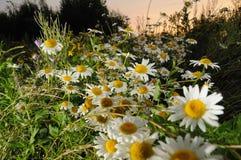 Camomiles de la hierba fotografía de archivo