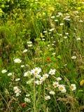 Camomiles del campo en una hierba verde densa Foto de archivo