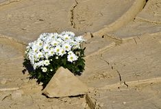 Camomiles in desert Stock Photography