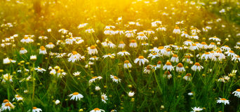 Camomiles. Early in the morning Royalty Free Stock Photography