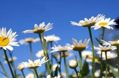 Camomiles em um céu azul Imagens de Stock