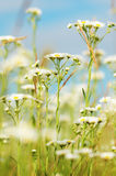Camomiles en el prado Foto de archivo