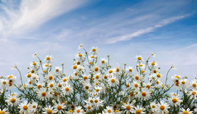 Camomiles field Royalty Free Stock Image