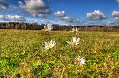 Camomiles on the field Royalty Free Stock Photo