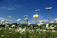 Camomiles on field. At sunny day Royalty Free Stock Photo
