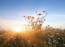 Camomiles in the field on a sunset Stock Photography