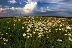Camomiles in fields Royalty Free Stock Photography