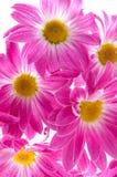 Camomiles. Fleurs de source Photographie stock