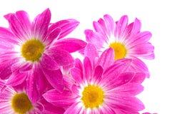 Camomiles. Fleurs de source Photos stock