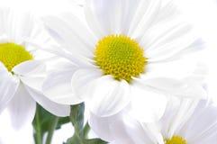 Camomiles. Fleurs de source Photo stock