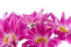 Camomiles. Fleurs de source Image libre de droits