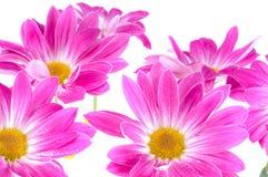 Camomiles. Fleurs de source Photo libre de droits