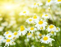 Camomiles florecientes Fotos de archivo libres de regalías
