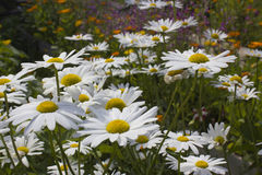Camomiles. In the garden in summer Royalty Free Stock Image