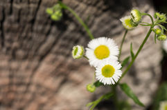 Camomiles in a garden on a wooden background Stock Images