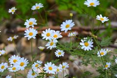 Camomiles on glade in forest Stock Photography