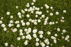 Camomiles In a Grass Field Stock Photos