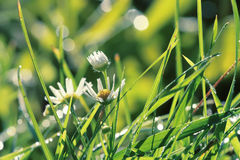 Camomiles are in a green grass Stock Photography