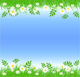 Camomiles with green grass. And blue sky Royalty Free Stock Images