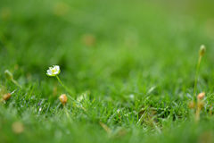 Camomiles in green grass close up with water drops Stock Photography