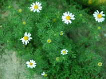 Camomiles and green leaves of them royalty free stock image