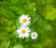 Camomiles on a green meadow Royalty Free Stock Images