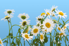 Camomiles isolated on  cyan Stock Photography