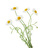 Camomiles isolated on white background. without shadow Royalty Free Stock Photos