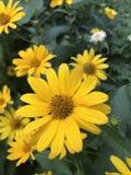 Camomiles jaunes image stock